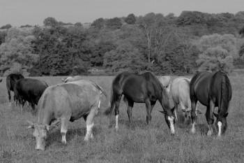 elevage-merze-chevaux-bovins-nb